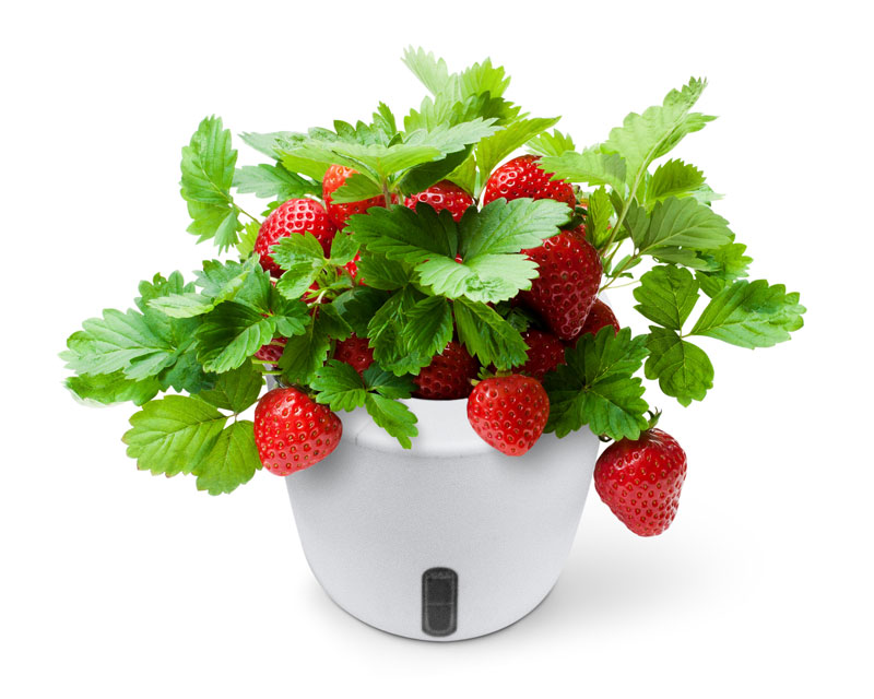 grow pad mini with strawberry